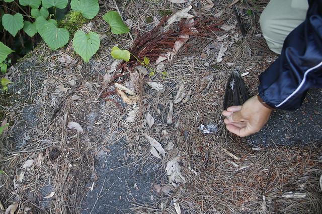 ヒヨドリの羽が落ちていた.何者かに食べられた跡だ.