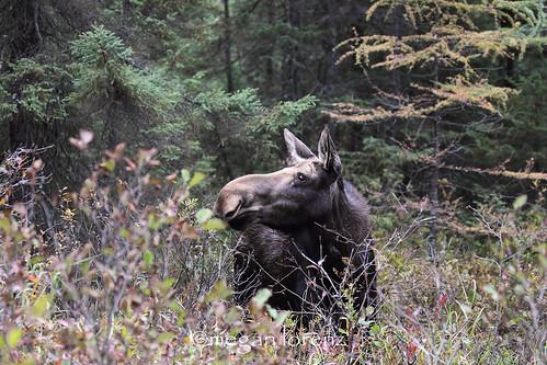 Moose by Megan Lorenz