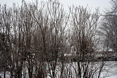 Ice Storm, Rime on Lilac Bushes_9229