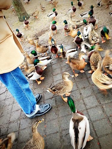 duck feeding norrtälje