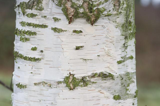 7: Silver Birch