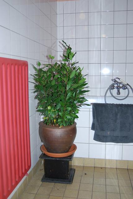 laurier overwinterd in de badkamer