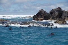 Fur seals, Cape Bridgewater, January 2014