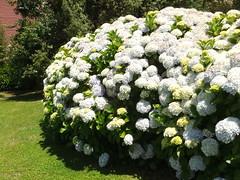 yarrow(0.0), iberis sempervirens(0.0), candytuft(0.0), hydrangea(1.0), shrub(1.0), flower(1.0), garden(1.0), plant(1.0),