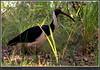 Straw-necked Ibis - Threskiornis spinicollis - Agnes Waters, Qld. by grayham3