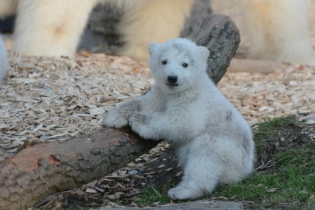 Eisbär im Tiergarten Hellabrunn
