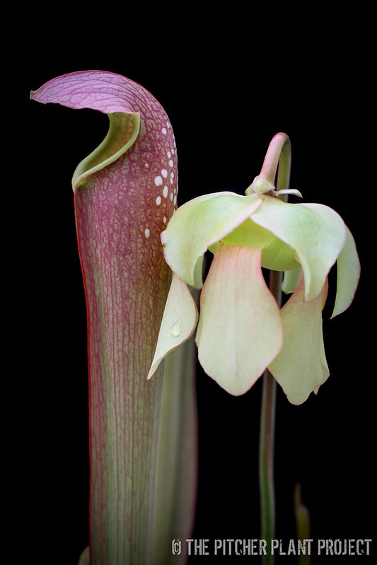 "Sarracenia minor var. okefenokeensis x ""Green Monster"" - Clone 2"