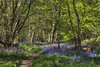Bluebells in Stocking Springs Wood by Roantrum