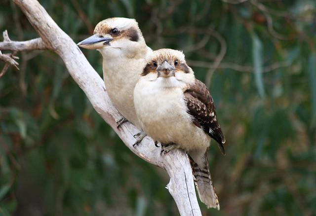 Kookaburra's of John Forrest national park