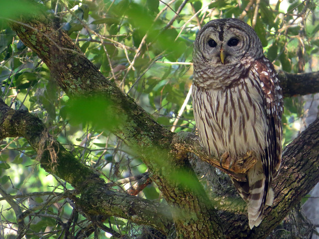 Gemini Springs Barred Owl