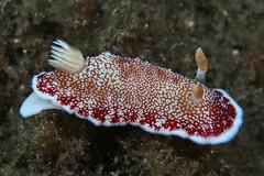 チリメンウミウシ Goniobranchus reticulatus