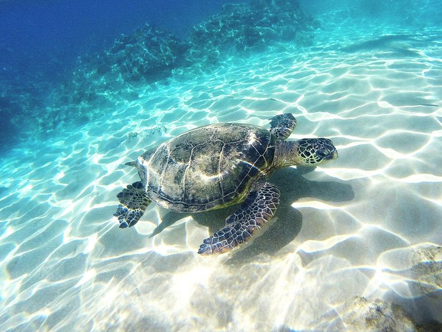 Turtle swimming at Keawakapu Beach in Maui, Hawaii
