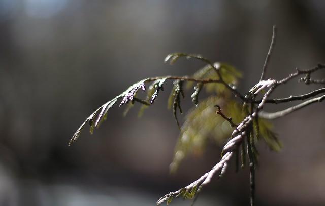 Whistling cedar