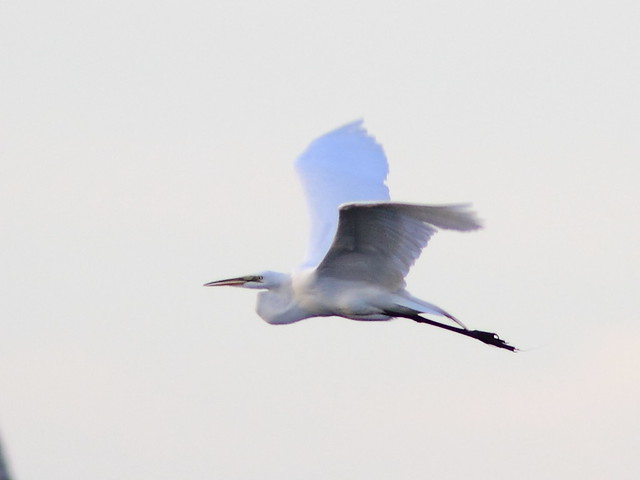 Great Egret in flight 2-20130516