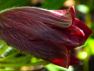 Red Pasque Flower Morning