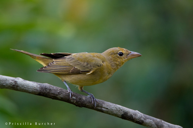Juvenile summer tanager - photo#22