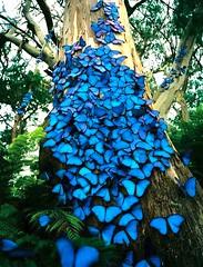 blue-Morphos
