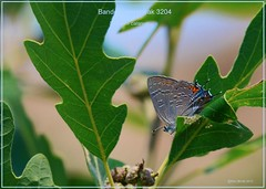 Banded Hairstreak Roxborough State Park Colorado Butterfly photography by Ron Birrell;DSC_3204