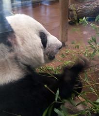 Giant Panda 09-01-2011 3
