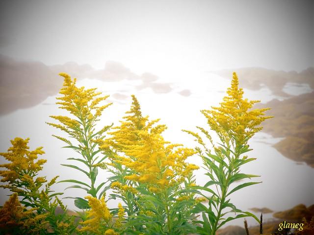 Goldenrod in Fog, Canon POWERSHOT N