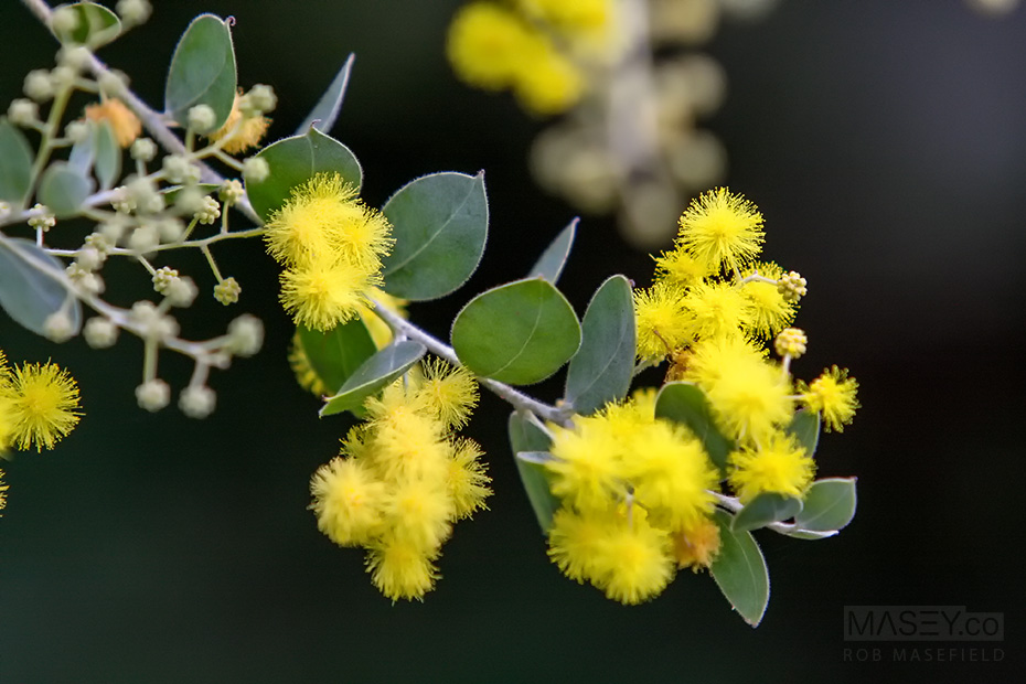The vibrant yellow colours of wattle - Australia's national flower.