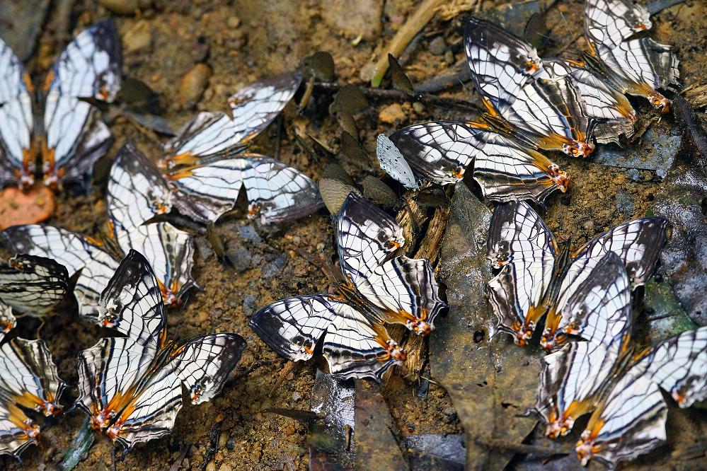 絲蛺蝶屬網絲蛺蝶-1