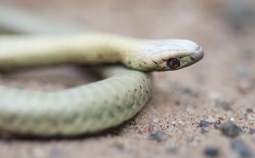 Garter Snake II