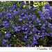 Small photo of Ceanothus thyrsiflorus