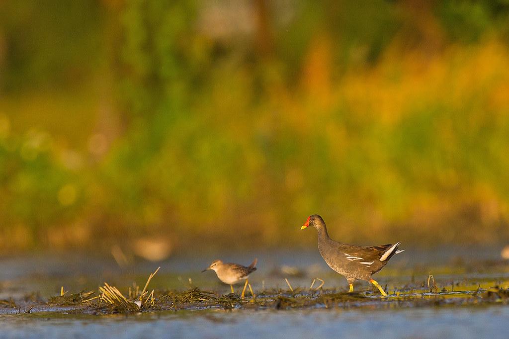 竹南水鳥-0141