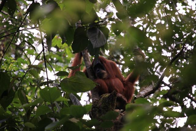 Orang utan in trees, Gunung Leuser National Park, Sumatra