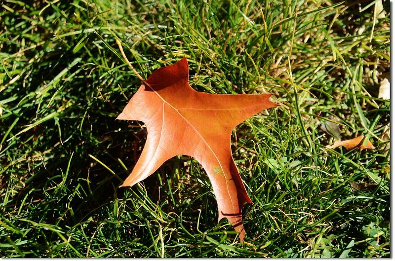 Oak(橡、櫟) in Fall, Chautauqua, Boulder 12