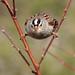 White Crowned Sparrow_11_28_13_Santee Ca 166 by Ryan Rubino