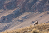 Bighorn Sheep Ewe Guarding Lamb by Free Roaming Photography
