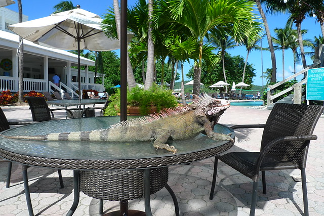 the wild iguanas seemed comfortable in our presence