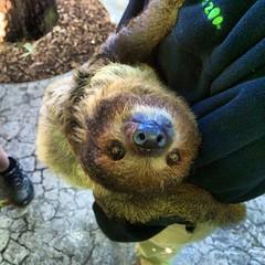 new world monkey(0.0), kinkajou(0.0), animal(1.0), three toed sloth(1.0), mammal(1.0), fauna(1.0),