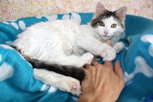 Neus, gata blanca cruce Van Turco pelo largo nacida en Julio´13 en adopción. Valencia. ADOPTADA. 12028263174_30d5e05eb7