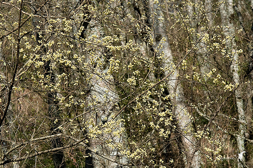 盛開的馬告花朵。(圖片作者:Wei-Chun Chang ,圖片來源:http://www.flickr.com/photos/enyagene/5491935080/ ,本圖符合CC授權使用 )