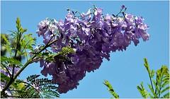 C'est un endroit très paisible, à l'écart du tumulte de la ville. (Jacaranda mimosifolia).