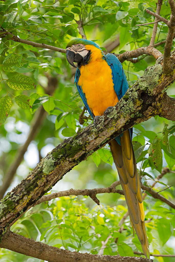 Blue and Yellow Macaw 2014-01-30