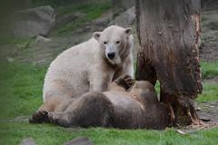 Eisbär im Dierenrijk in Mierlo