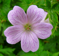 annual plant, geranium cinereum, geranium, flower, plant, wildflower, pink evening primrose, flora, petal,