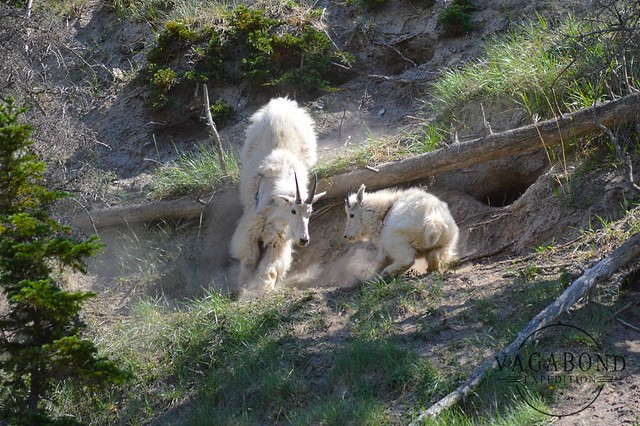 1024 - ve - mountain goats fight DSC_7089