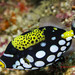 Clown triggerfish ( Balistoides conspicillum ) Okinawa, Japan by Okinawa Nature Photography