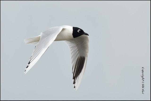 Saunders' Gull (Chroicocephalus saundersi) 黑咀鷗 - 280217_DSC6538n