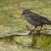 Female Blackbird by My Name is Merle