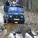 Bengal Tiger (Pradeep Singh)