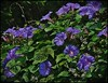 Heights Purple Blue Trumpets ARTsy by oldusephemera