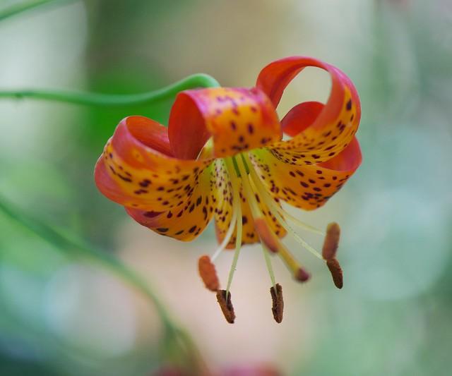Leopard Lily_Lillum pardelinum__SGM