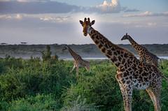 Tanzania-Masek-SafariDrive-53