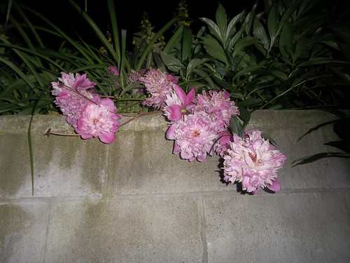 Peonies by night (3)
